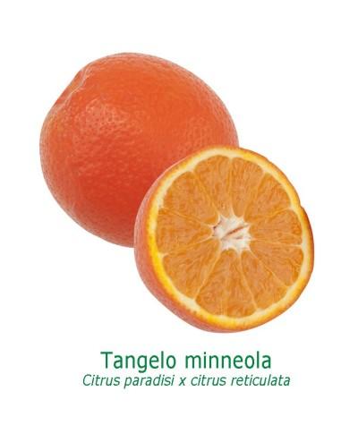 TANGELO MINNEOLA / Citrus deliciosa et citrus paradis