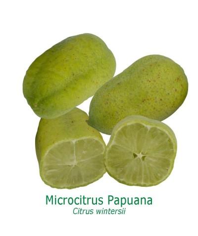 CITRONNIER PAPUANA / Citrus Papuana