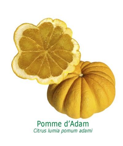 POMME D'ADAM / Citrus lumia pomum adame