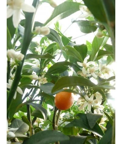 KUMQUAT OVALE / Fortunella japonica