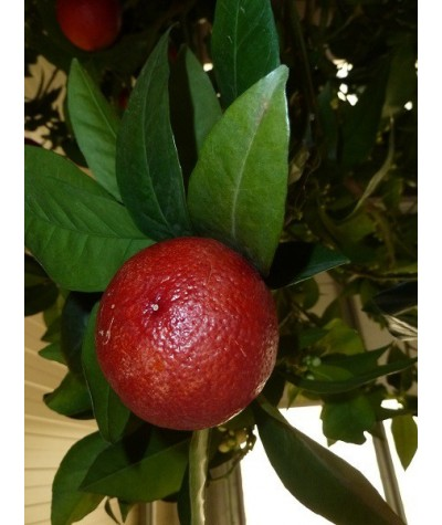 ORANGER  MORO (sanguine) / Citrus sinensis moro sanguinea