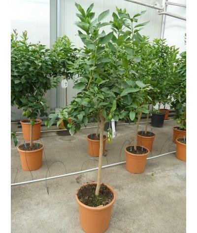 LIME TAHITI ou CITRON VERT / Citrus latifolia