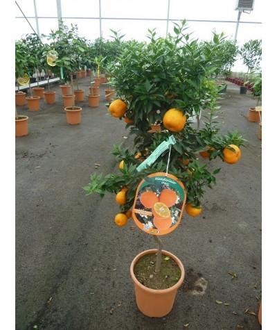 MANDARINIER CHINOIS / Citrus myrtifolia