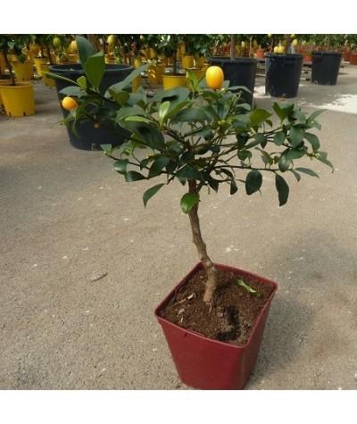 KUMQUAT DE HONG KONG / Citrus japonica hindsii en pot