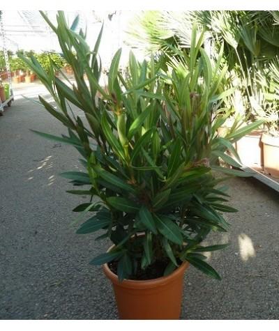 LAURIER ROSE / Nerium oleander