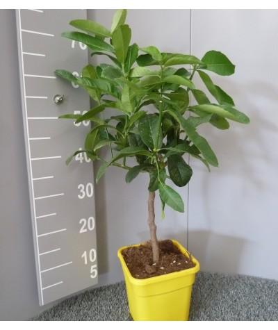 Cédrat Main de Boudha Taille S Plante (hors pot) 40/60cm Contenant 3/5L