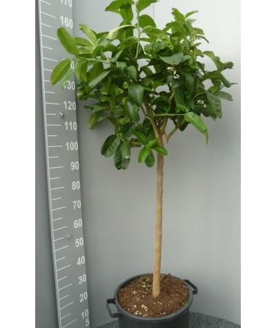 Cédrat Main de Boudha Taille 3XL Plante (hors pot) 100/140cm Contenant 30L