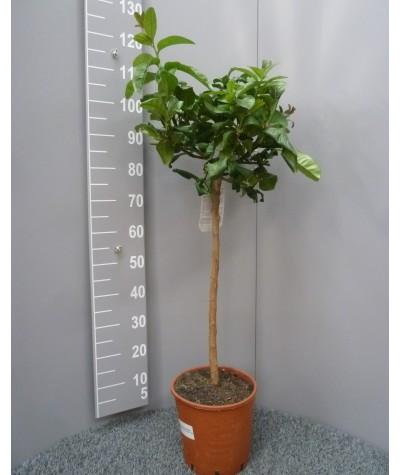 Cédrat Main de Boudha Taille XL Plante (hors pot) 90/110cm Contenant 9L