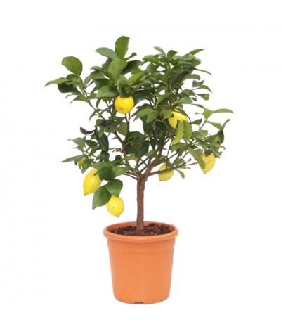 Citronnier 4 saisons en pot avec fruits