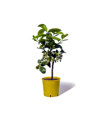 cedratier plante en pot stade feuille