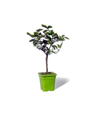 LIME TAHITI ou CITRON VERT / Citrus latifolia  plante en pot