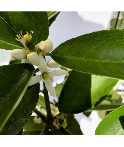 LIME TAHITI ou CITRON VERT / Citrus latifolia  fleurs