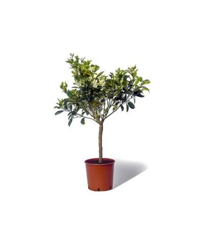 ORANGER PANACHE / Citrus sinensis variegata en pot