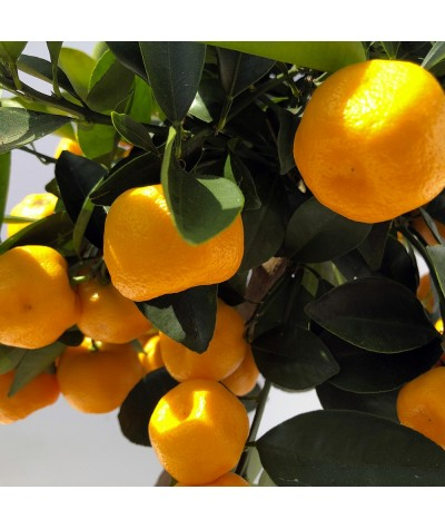 fruits de calamondin