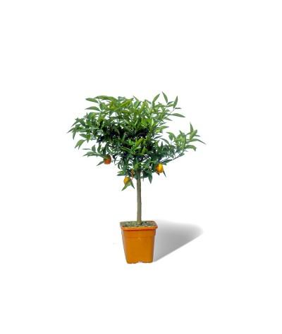 KUMQUATINE / Fortunella x Citrus clementina en pot