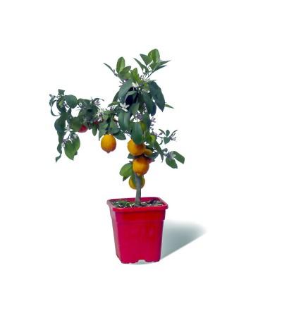 LIME ROUGE RANG PUR  / Citrus limonia 'Osbeck' plante en pot