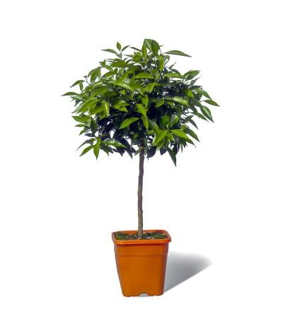 MANDARINIER SATSUMA / Citrus unshiu plante en pot