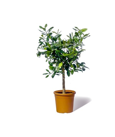 COMBAVA /  Citrus hystrix plante en pot