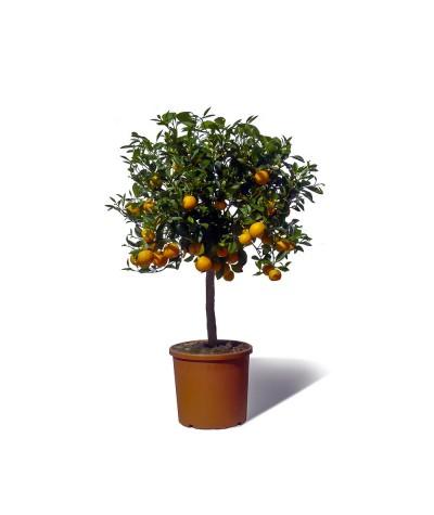 Calamondin plante en pot avec fruits