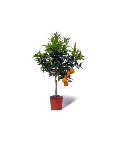 ORANGER SANGUINE / Citrus sinensis sanguinea plante en pot avec fruits