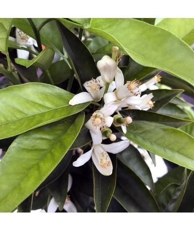 ORANGER SANGUINE / Citrus sinensis sanguinea fleurs et feuillage