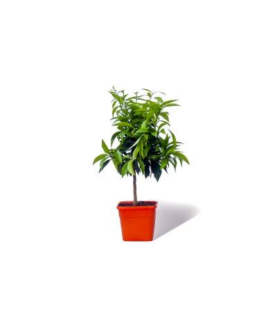 CLEMENTINIER / Citrus clementina plante en pot
