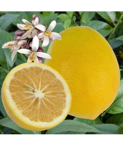 Citronnier Meyer fruits et fleurss