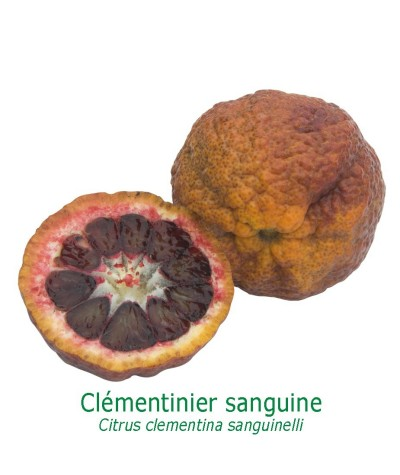 CLEMENTINIER SANGUINE  / Citrus clementina 'Sanguinelli'