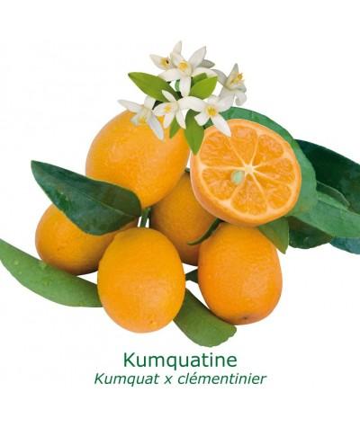 KUMQUATINE / Fortunella x Citrus clementina