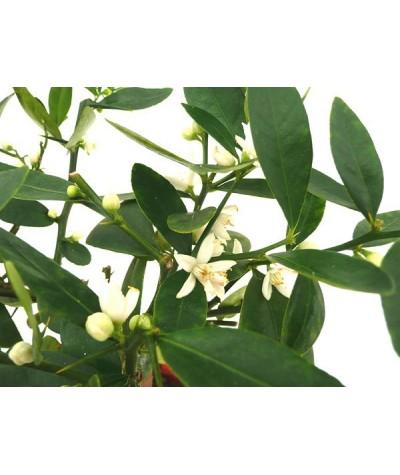 KUMQUAT DE HONG KONG / Citrus japonica hindsii fleurs