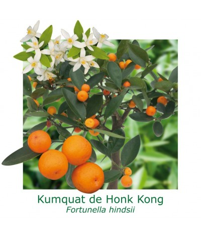 KUMQUAT DE HONG KONG / Citrus japonica hindsii