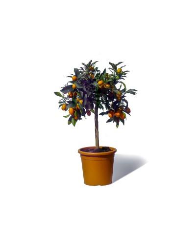 KUMQUAT DE HONG KONG / Citrus japonica hindsii plante en pot