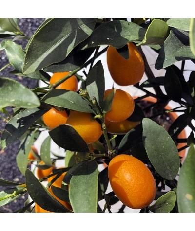 KUMQUAT DE HONG KONG / Citrus japonica hindsii fruits
