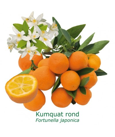 KUMQUAT ROND / Fortunella margarita