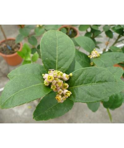 LIME MEXICAINE / Citrus aurantifolia 'Messicana'