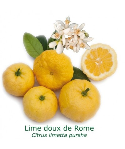 LIME ROMAINE  / Citrus Limetta Pursha
