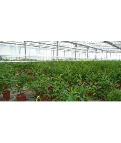 Serre production COMBAVA /  Citrus hystrix