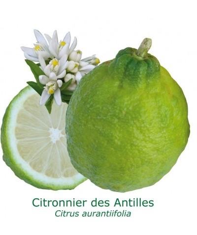 CITRONNIER DES ANTILLES  / Citrus aurantiifolia