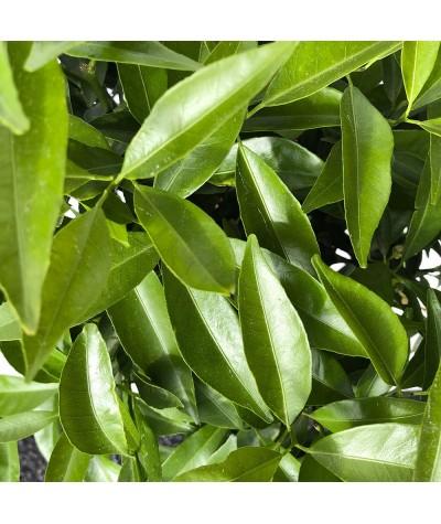 MANDARINIER SATSUMA / Citrus unshiu feuillage
