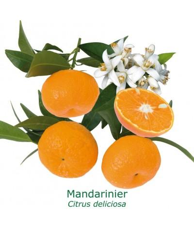 MANDARINIER / Citrus deliciosa