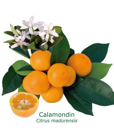 CALAMONDIN / Citrus Madurensis