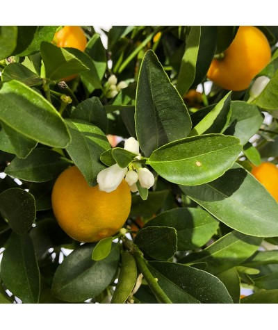 Calamondin fruits, fleurs et feuillage