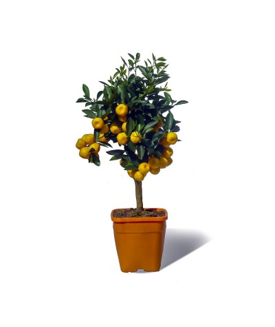 Calamondin plante en pot avec fruits
