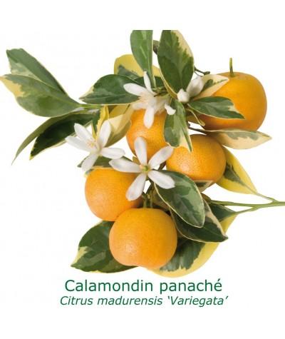 CALAMONDIN PANACHE / Citrus Madurensis 'Variegata'