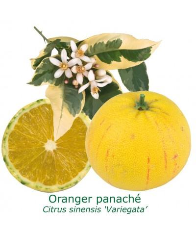 ORANGER PANACHE / Citrus sinensis variegata