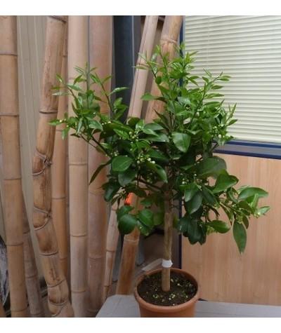 POMELO ROSE / Citrus paradisi