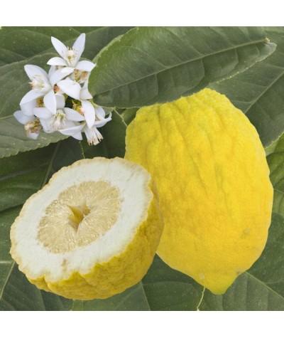 Cedrat Ethrog fruit et fleurs