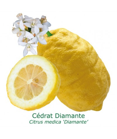 CEDRAT  ETHROG/ Citrus medica