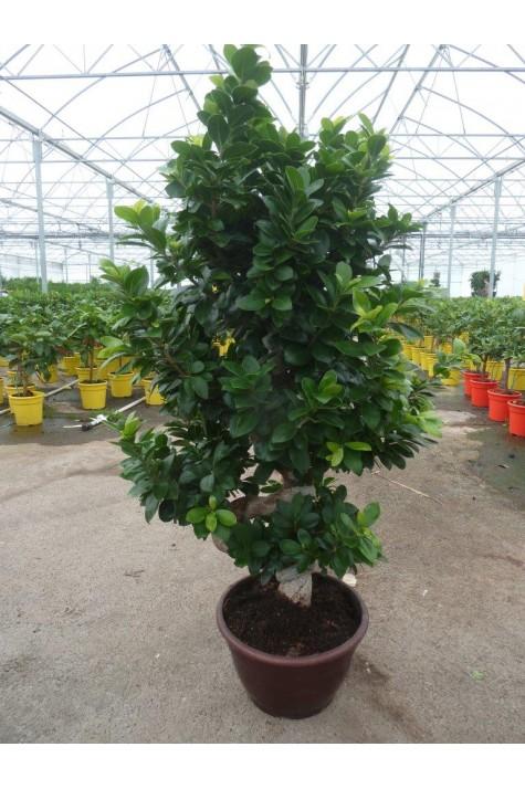 Ficus ginseng D25cm Bonsaï