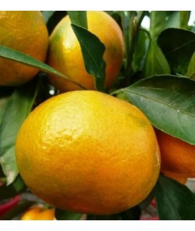 MANDARINIER SATSUMA / Citrus unshiu